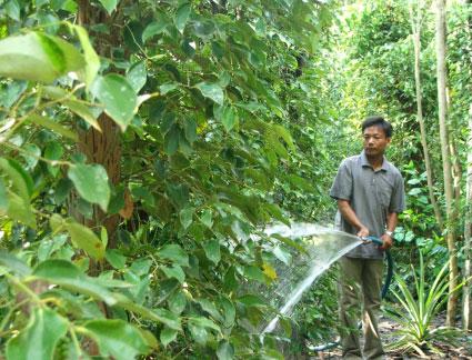 Quy trình kĩ thuật trồng Hồ Tiêu ở Chư Sê – Phần 2