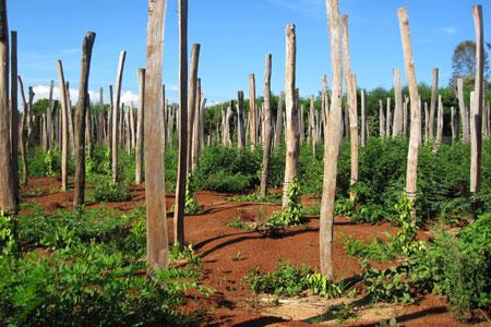 Qui trình kỹ thuật trồng Hồ Tiêu ở Chư Sê – Phần 1