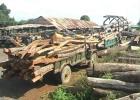 Khai thác gỗ rừng ồ ạt để làm trụ tiêu
