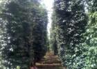 Vườn tiêu kinh doanh được vi nấm Trechoderma bảo vệ