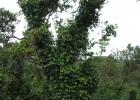 Trụ tiêu bằng thân cây điều còn cho quả