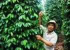 Sử dụng phân bón sinh học, vườn tiêu nhà ông Hùng đã lên đều, xanh tốt hơn trước.
