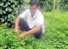 Trồng cỏ lạc dại giúp tiết kiệm phân, tăng năng suất vườn tiêu