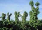 Nhiều nông dân sử dụng keo lai làm cây trụ sống cho tiêu