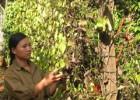 Vườn tiêu của gia đình chị Thủy bị rụng lá chết hàng loạt