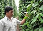 Vườn tiêu của ông Trần Khanh ở xã Suối Cao (huyện Xuân Lộc) nhờ áp dụng quy trình phòng trừ dịch hại tổng hợp nên năng suất tiêu đạt 6-7 tấn/hécta/năm.