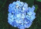 Hoa Cẩm Tú trồng trên đất có độ pH cao (kiềm) sẽ có màu xanh