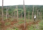 Nhiều diện tích hoa màu ở xã Đắk Wil bị người dân phá bỏ để chôn cọc trồng tiêu