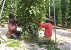 Nông dân huyện Cư Kuin đang thu hoạch tiêu