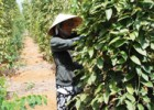 Nông dân Phú Quốc thu hoạch hồ tiêu