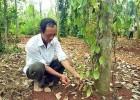 Vườn tiêu của ông Lê Văn Nga ở Vĩnh Thành, Vĩnh Linh (Quảng Trị) thiệt hại nặng do dịch bệnh