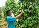 Vườn tiêu của gia đình ông Phạm Ngọc Tiếp, xã Đắk N'Drung xanh tốt, với diện tích 2 sào nhưng sản lượng hàng năm luôn đạt trên 1,2 tấn.
