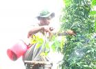 Anh Thắng chăm sóc vườn tiêu