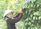 Nôngi dân Ea Lai phấn khởi vì tiêu được mùa, được giá.