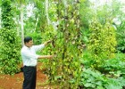 Do dịch bệnh, nhiều vườn tiêu ở Vĩnh Linh đã không thể cứu vãn