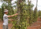 Hàng ngàn ha cây hồ tiêu bị bệnh khiến người trồng lâm vào cảnh khó khăn