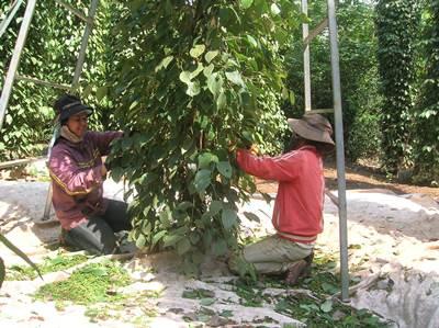 Nông dân huyện Cư Kuin - Đăk Lăk đang thu hoạch hồ tiêu