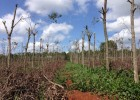 Một vườn cao su bị đốn bỏ để chuyển sang trồng hồ tiêu – Ảnh: Minh Phát