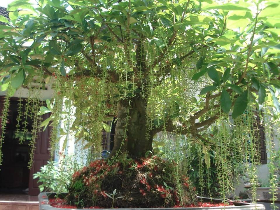 Lộc vừng, loại cây cảnh phong thủy mang lại nhiều may mắn