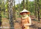 Một vườn tiêu ở ấp Vườn Bưởi, xã Lộc Thiện (Lộc Ninh) bị xóa sổ vì bệnh chết nhanh