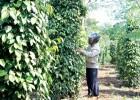 Vườn tiêu xanh tốt của gia đình ông Nguyễn Văn Anh ở thôn 3.