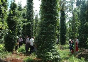 Đoàn khách quốc tế tham quan vườn trồng hồ tiêu
