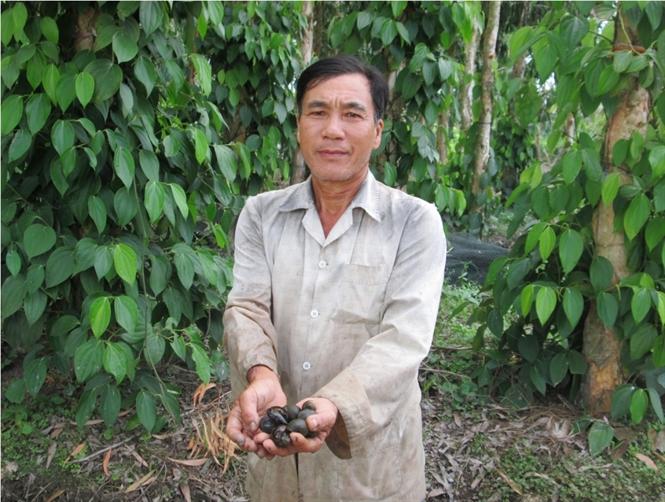 Mô hình trồng tiêu dưới tán tràm kết hợp với nuôi thủy sản.