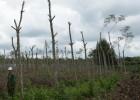 Cây cao su ở tỉnh Bình Dương đã bị đốn trụi để trồng hồ tiêu.