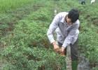 Trồng ớt xuất khẩu cho thu nhập gấp 3 - 4 lần trồng lúa