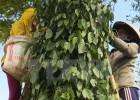 Nông dân đang thu hoạch hồ tiêu