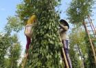 Nông dân xã Sơn Thành Tây, huyện Tây Hòa, thu hoạch tiêu.