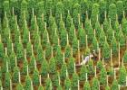 Diện tích hồ tiêu trồng mới phát triển ồ ạt vượt quy hoạch