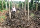 Một vườn tiêu của nông dân ở huyện Ia Grai, Gia Lai bị chết do dịch bệnh