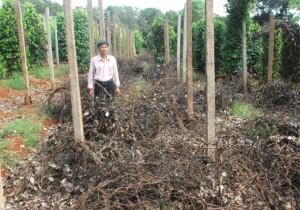 Tây Nguyên ồ ạt trồng tiêu: Phá vỡ quy hoạch, nuôi mầm dịch bệnh