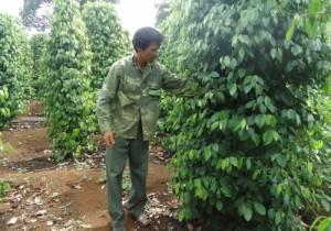 Phú Yên: Nông dân ồ ạt chuyển đổi sang trồng tiêu