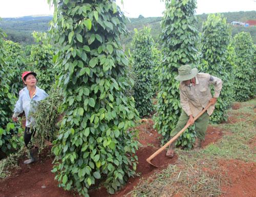 Nông dân Đăk Nông đang bón phân cho hồ tiêu