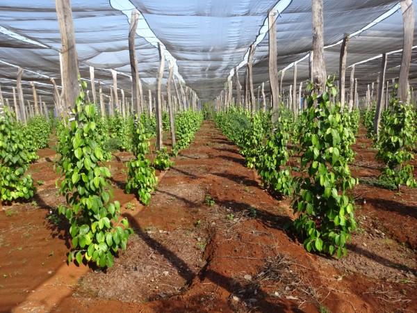 Một vườn tiêu trồng mới được đầu tư bài bản...