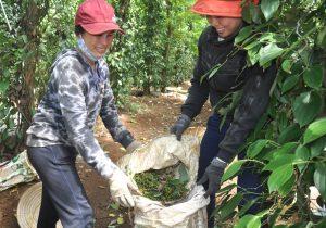 Việt Nam: Xuất khẩu hồ tiêu tháng 09/2021 lượng giảm, giá tiếp tục tăng