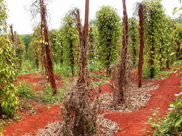 Một vườn tiêu chết do nhiễm bệnh vàng lá chết nhanh.