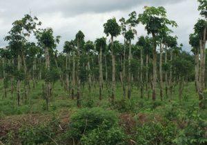 Bà Rịa – Vũng Tàu : Tận dụng cây cao su làm trụ tiêu
