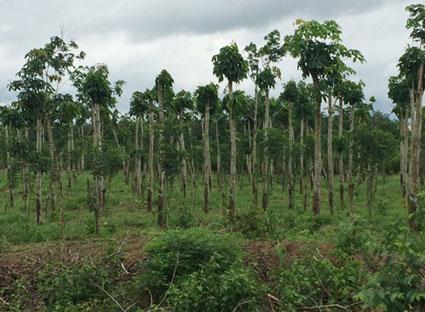 Một vườn cao su ở ấp Bàu Sồi (xã Tân Lâm, huyện Xuyên Mộc) đã được rong cành, chặt ngọn để chuẩn bị trồng tiêu.