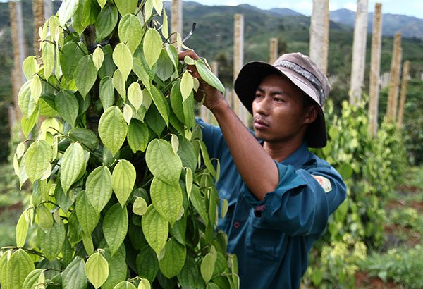 Cây hồ tiêu đang được người dân ở nhiều địa phương trồng tự phát, thiếu định hướng. Ảnh: H.Đường