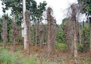 Phú Yên: Hàng trăm ha tiêu bị bệnh chết nhanh, chết chậm