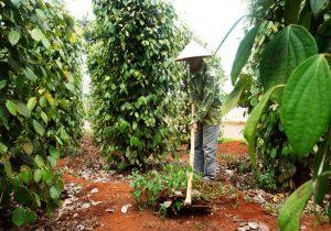 Đăk Nông: Bí quyết trồng tiêu có lời trong cơn bão giá của nông dân Thuận Hà
